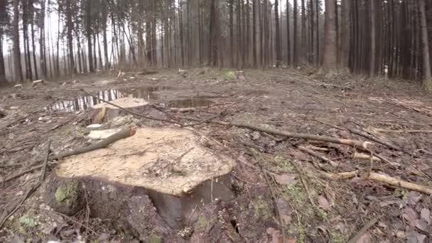 Massenabholzung. Ökologische Katastrophe. Stümpfe von großen Bäumen. Chaos und die Zerstörung der Natur