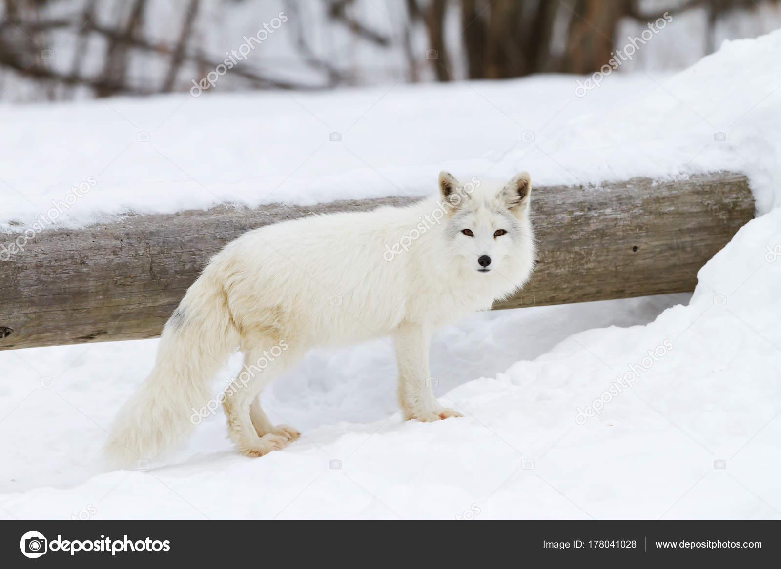 Liška Polární Vulpes Lagopus Stojící Sněhu Zimě Kanadě — Stock ... 6333ec6b2f