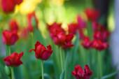 Szelektív fókusz fotó. Piros tulipán virágok a virágágyásban a kertben. Tavaszi szezon.