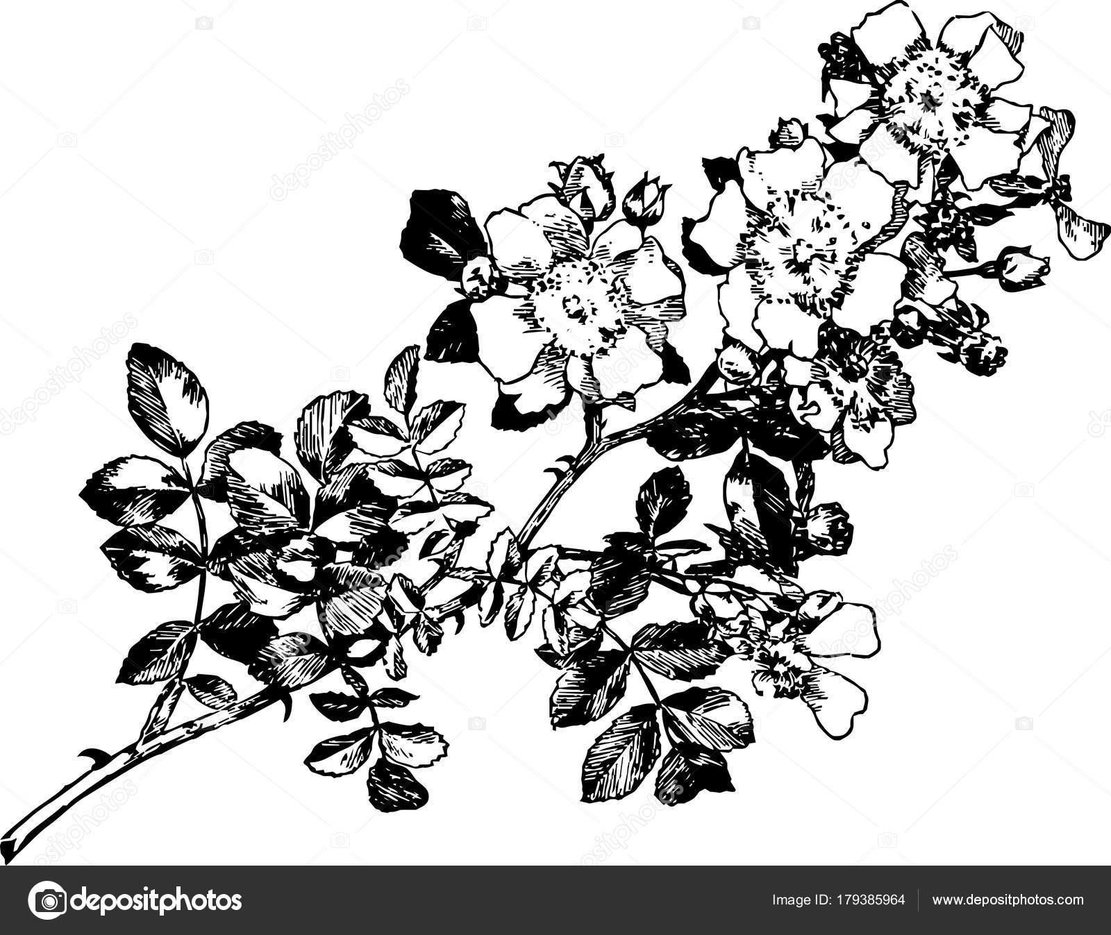 wild rose schwarz wei stockvektor hav4ik79 179385964. Black Bedroom Furniture Sets. Home Design Ideas