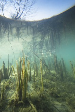 Beautiful and romantic underwater landscape with reed (Typha) in the clear pound. Underwater shot in the lake. Nature habitat.