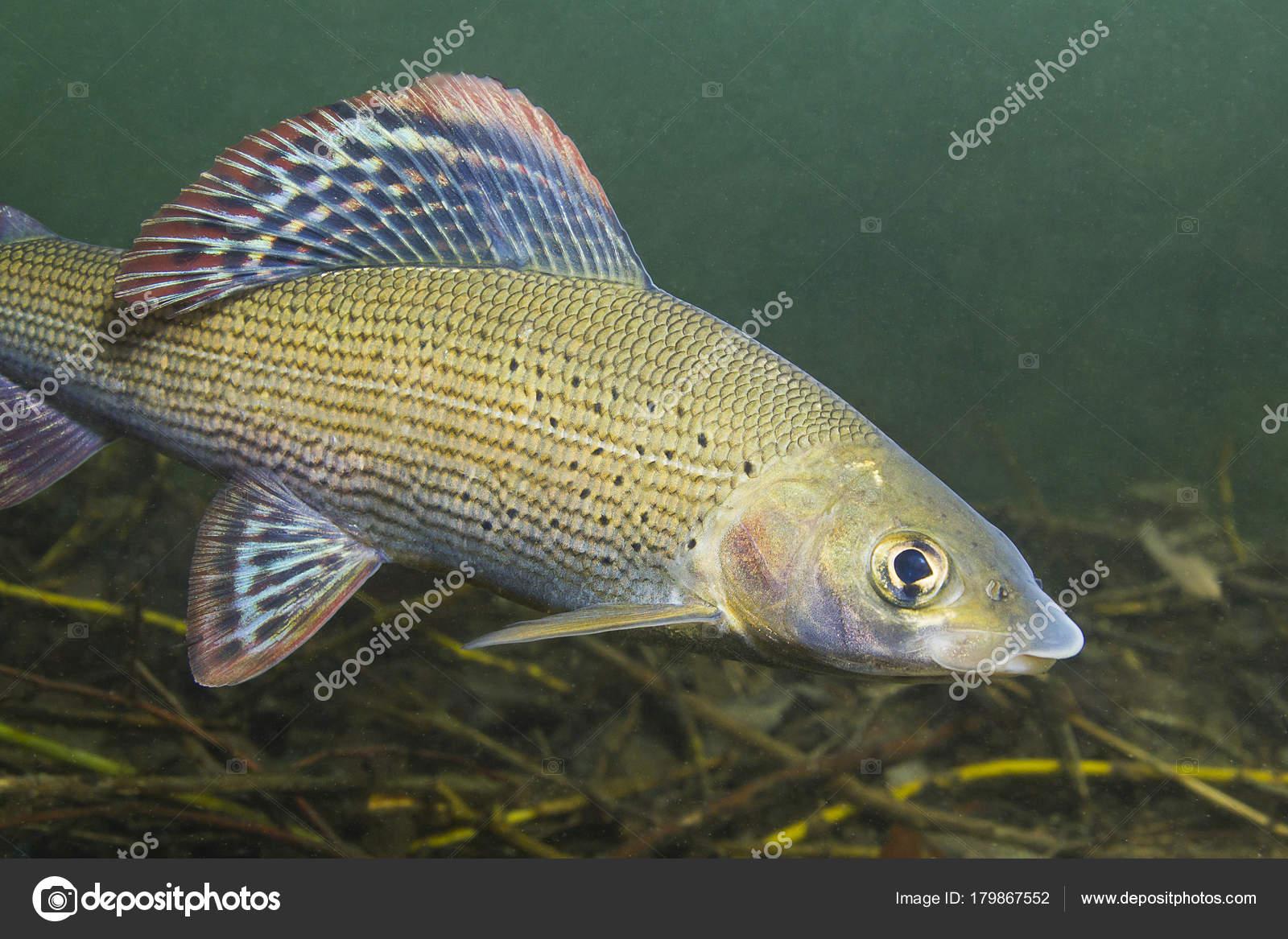 Temolo thymallus thymallus piscina acqua dolce pesci for Pesci finti per piscina