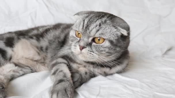 Skotská skládací kočka leží na bílém prostěradle a se zájmem sleduje pohybující se objekt v zákulisí třpytivým způsobem. Detailní záběr hlavně. Legrační roztomilý mazlíček.