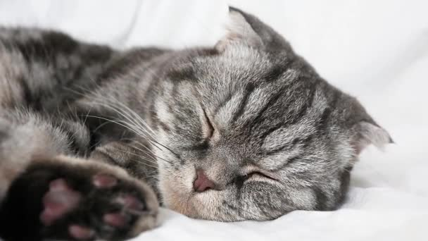 The gray Scottish fold cat lies on the bed, slowly opens its eyes. The concept of pets, comfort, pet care, keeping cats in the house. Light image, minimalism, copyspace.