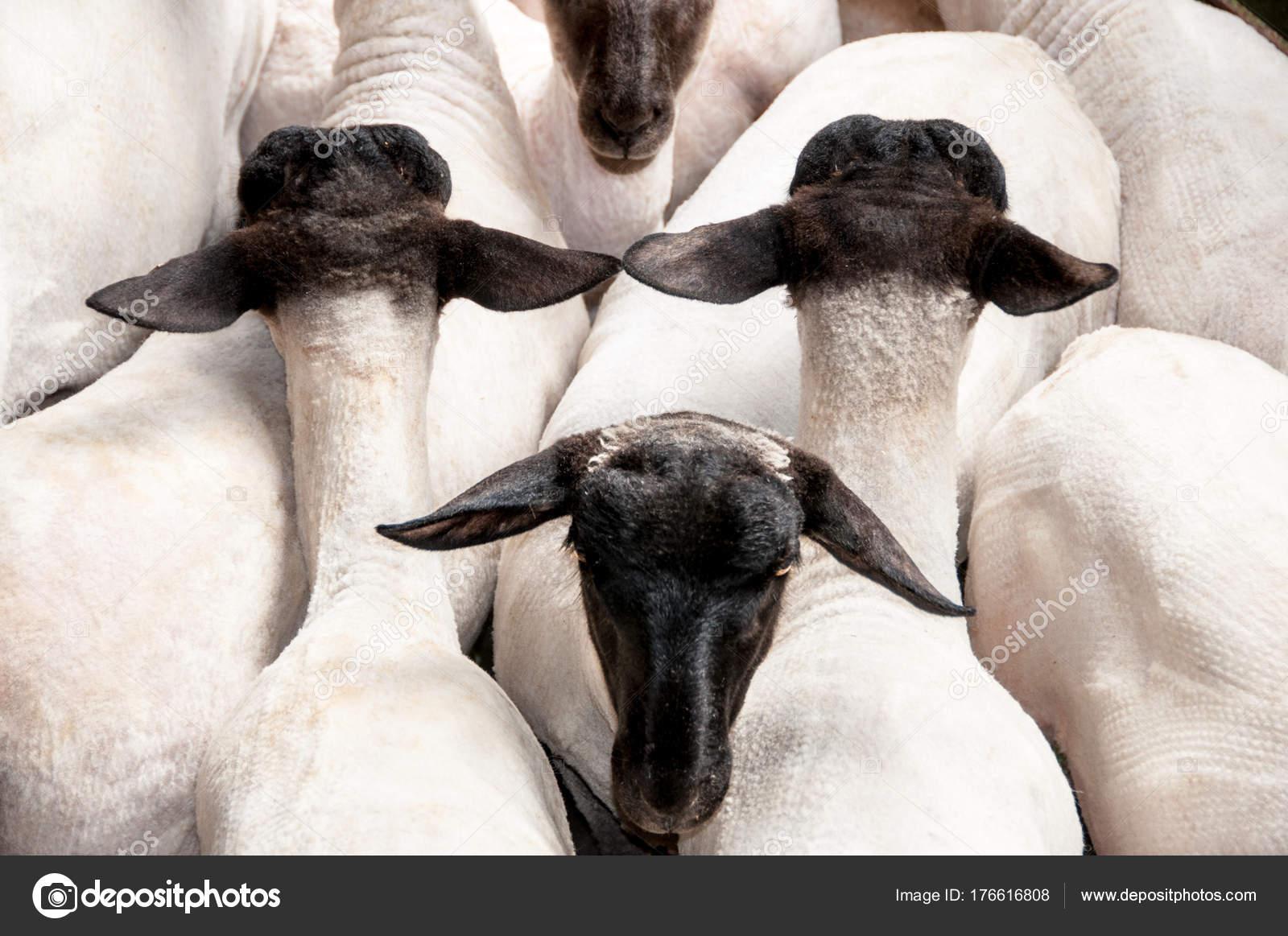 Pecore nella tosatura iarde dopo essere tosati — Foto Stock ... 3c6d48ac3ad8