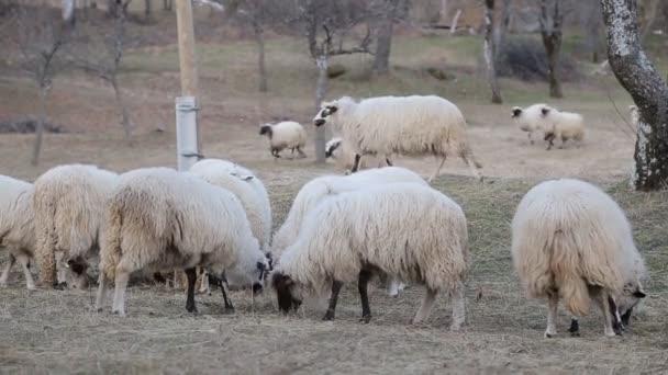 viele Schafe auf der schönen grünen Wiese