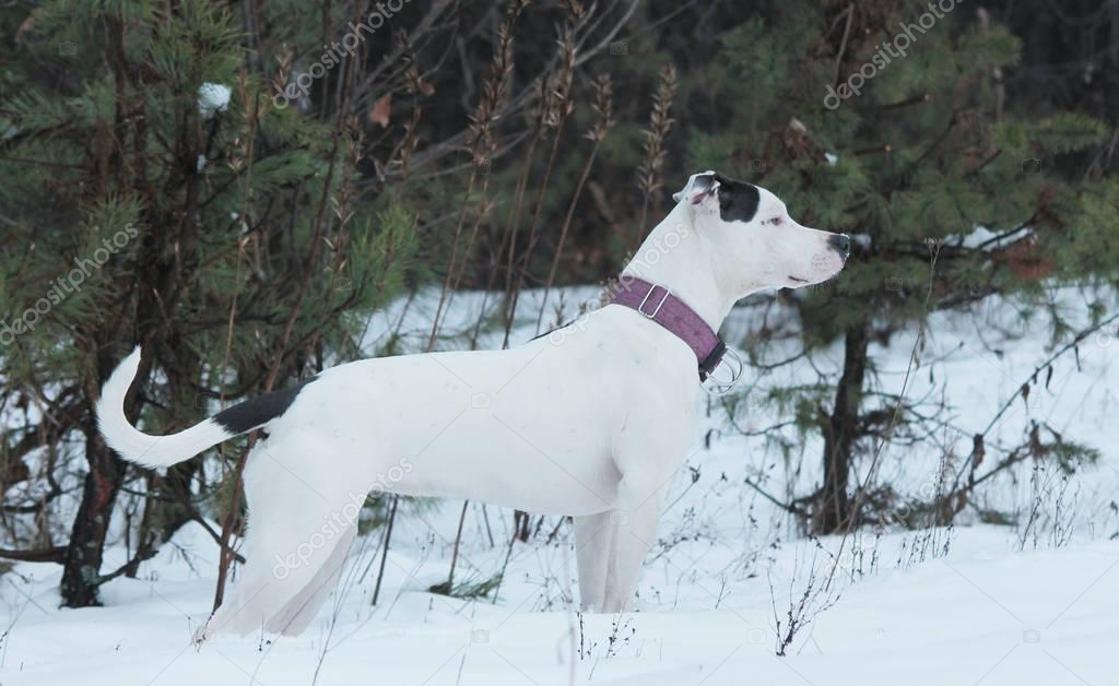 white american staffordshire terrier in the winter forest