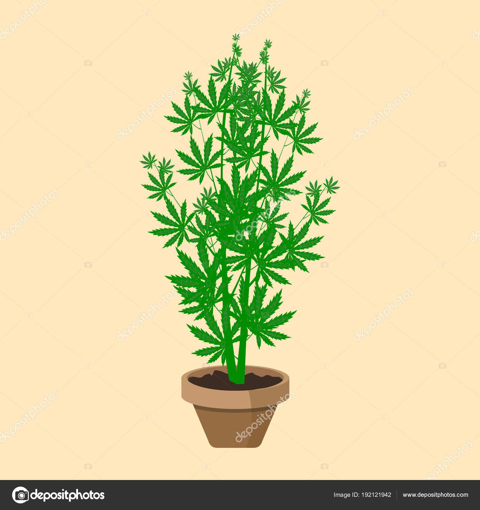 Planta de marihuana o cannabis en una maceta. Diseño plano. Planta ...