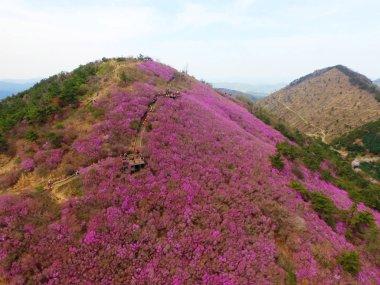 Aerial View of Cheonjusan Mountain Jindallae Azalea Flower Blooming , Changwon, South Korea, Asia