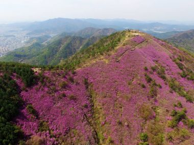 Aerial View of Cheonjusan Mountain Jindallae Azalea Flower Blooming , Changwon, South Korea, Asia