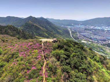 Cheoljjuk Royal Azalea Blossom Blooming in Bieum Mountain in Changwon , South Korea, Asia