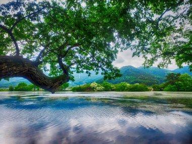 Fringe Tree in Wilyangji Reservoir, Milyang, South Korea, Asia