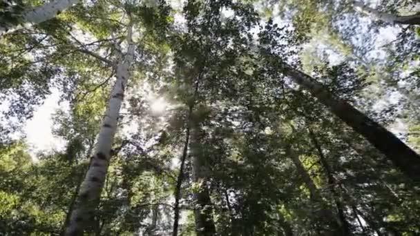 Pohybující se po březové háje, střílel steadicam. Koruny stromů zelené břízy za slunečného dne, pohled zespodu. Sluneční světlo projde zelené listy. Bříza korun pozadí oblohy.