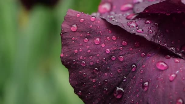 Close-up of Water drops on deep purple burgundy iris flower after rain. Wet petals of purple bearded iris flower, with fresh raindrops.