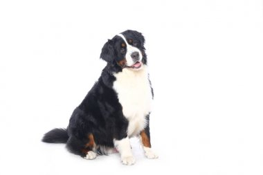 Beautiful dog in front of a white background