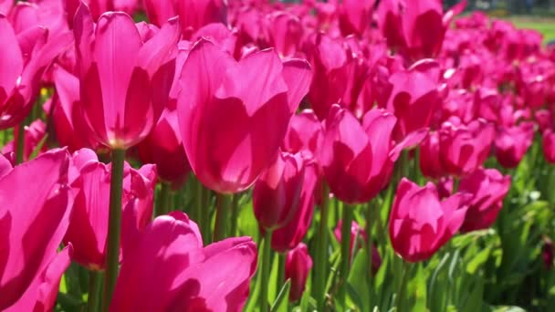 Pink and green spring tulips flower background.