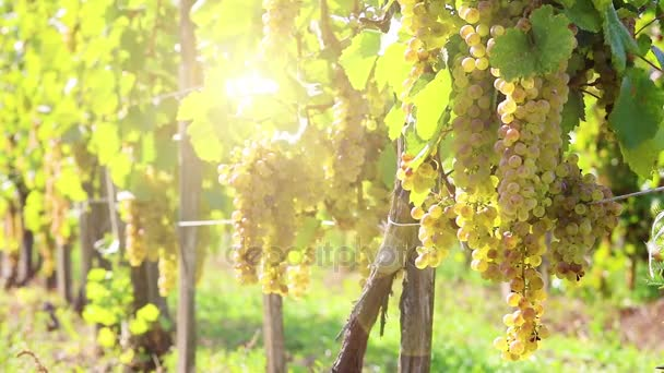 Vineyards in sunny autumn harvest. Full Hd, native hd video
