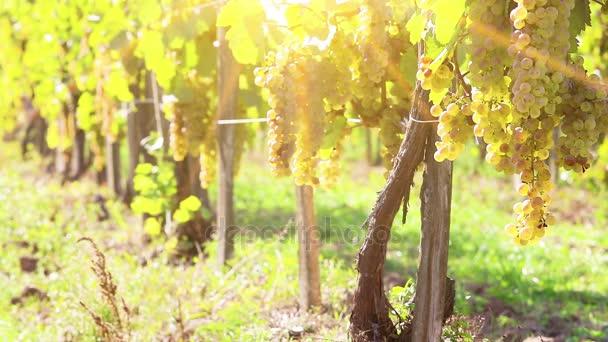 Vinice v slunné podzimní sklizně. Full Hd, nativní hd video