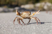 Little Crab on road