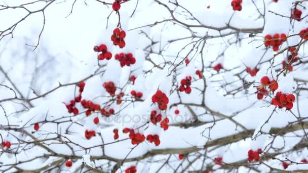 Russischer Winter. Buschbeeren unter dem Schnee