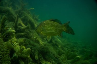 carp under water image, fish photography, under water photography, austrian lake wildlife