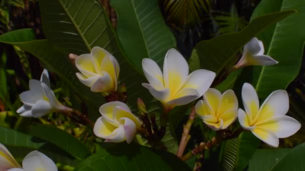 Plumeria or Frangipani flowers swaying in the wind.