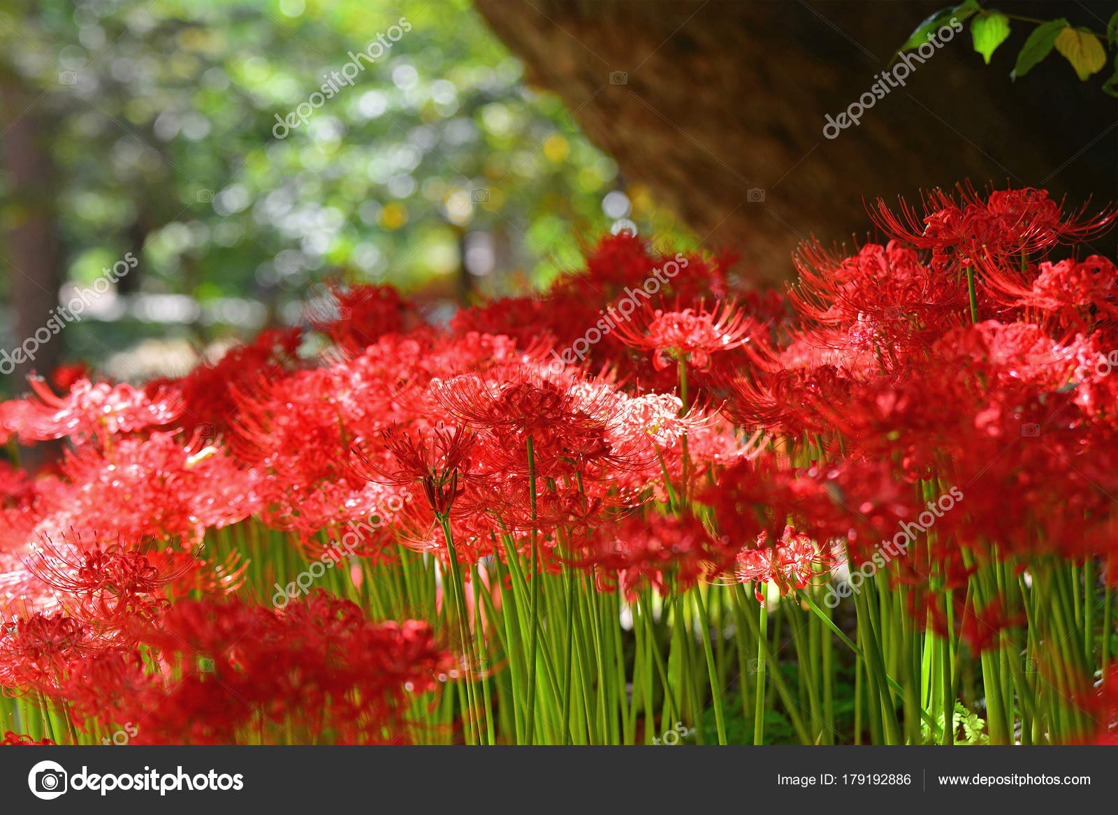 Red spider lily flowers stock photo ahmety34 179192886 red spider lily flowers stock photo izmirmasajfo Image collections
