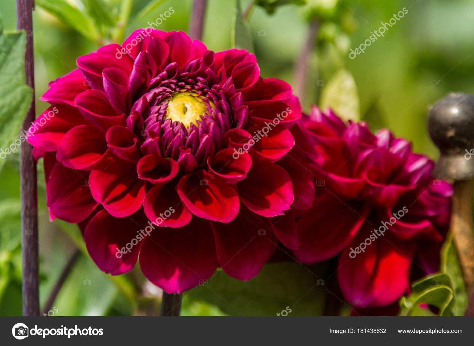 Dahlia Flowers Garden Stock Photo Ahmety34 181438632