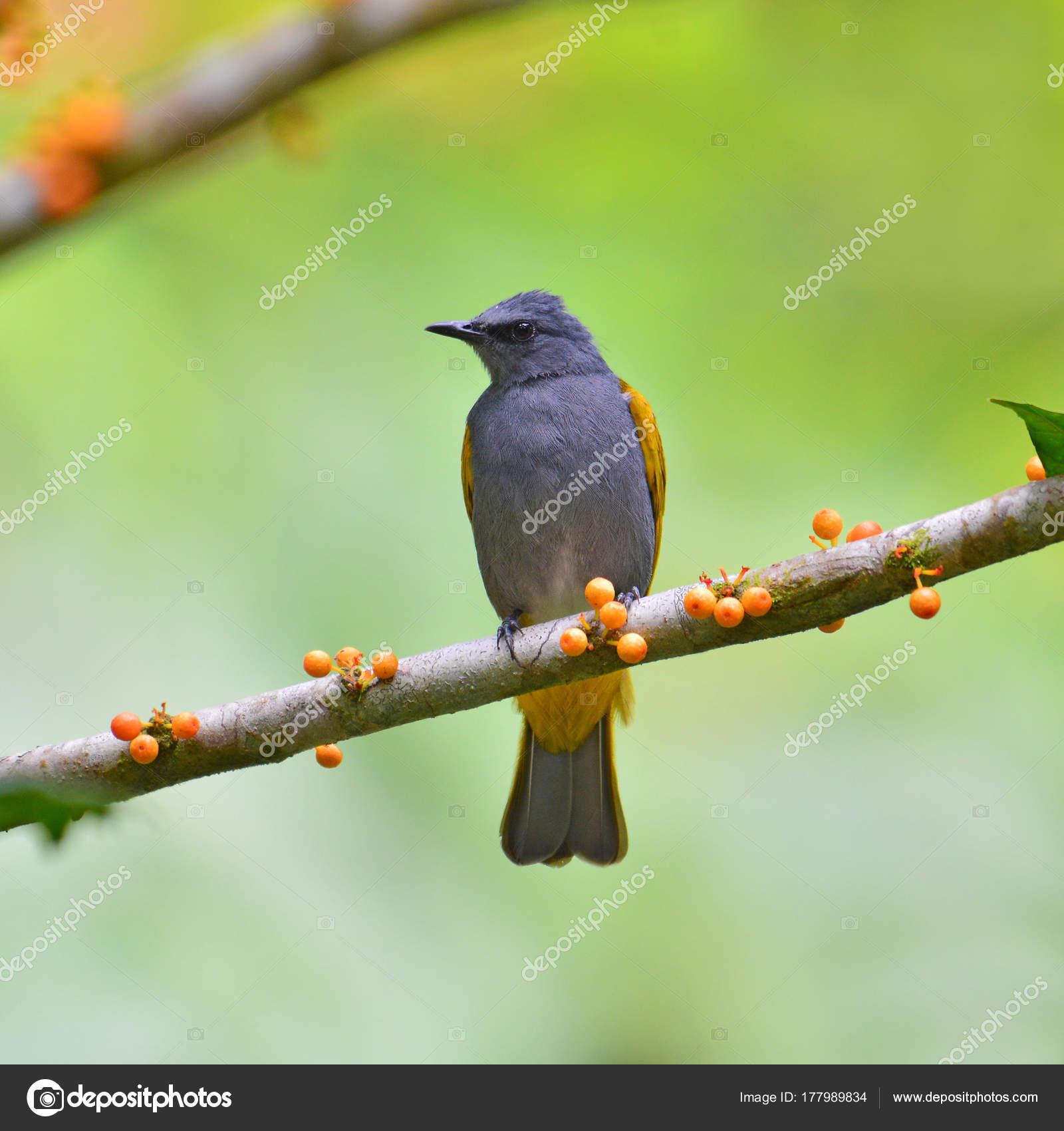 μεγάλο λίπος μαύρο πουλί pic