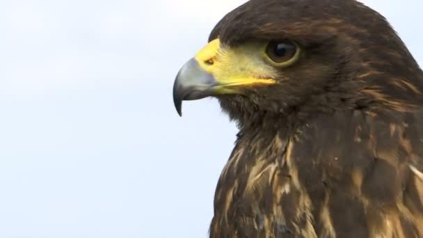 Nahaufnahme des Kopfes eines Falken