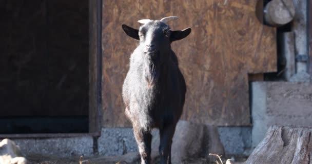 Mladá koza stojí a dívá se přímo do kamery