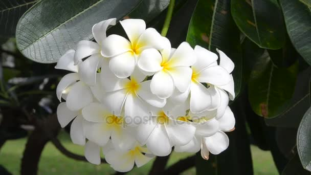 frangipani flowers or plumeria on tree