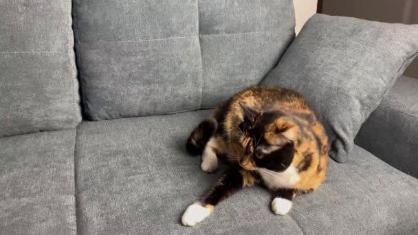 schöne dunkle Hauskatze sitzt auf einem grauen Sofa, gemütliches Wohnkonzept, Nahaufnahme