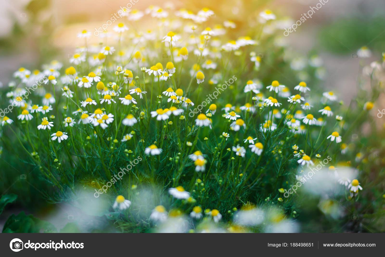 Фото летние цветы в природе 55