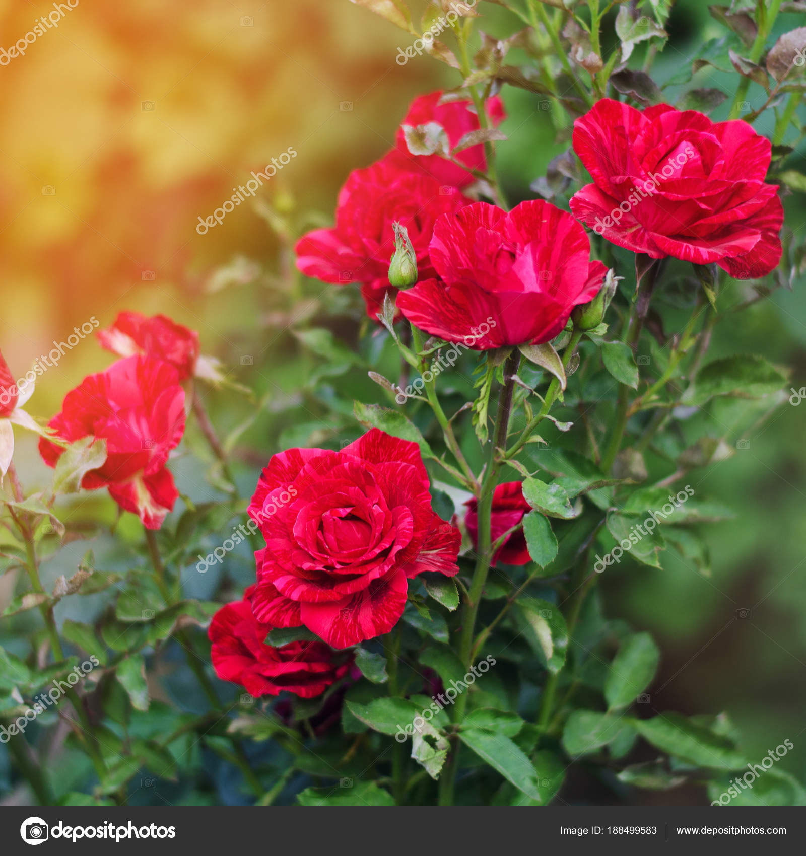 Wallpapers Rose Garden Wallpaper Beautiful Red Roses In The