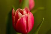 Piros, sárga tulipán, tulipán mező színes háttérrel.
