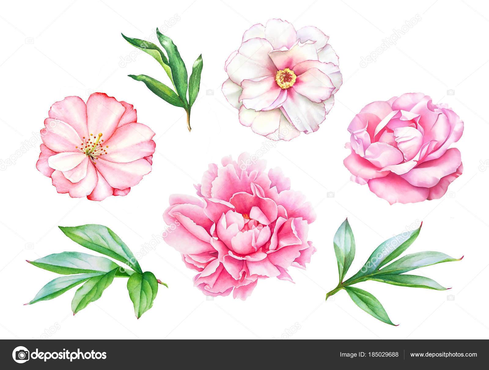 Aquarelle Réaliste Dessin Fleurs Pivoine Rose Avec Feuilles