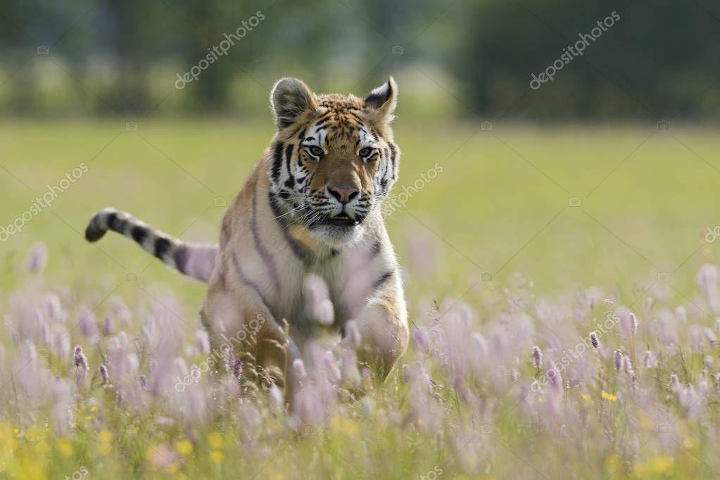 Siberian Tiger - Panthera tigris running through the meadow. Endangered animal.