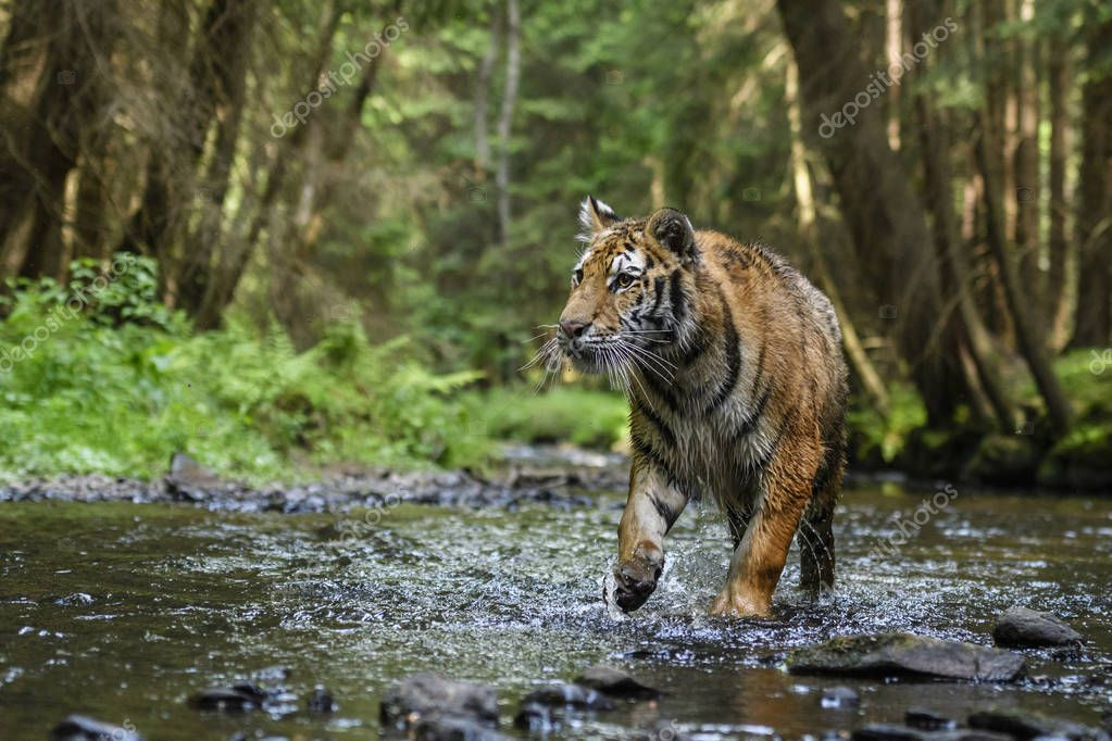 Siberian Tiger - hunting in the river. Endangered animal.