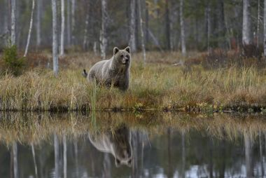 Water reflextion of Brown Bear - Ursus arctos in typical nordic European forest, Finland, Europe