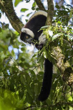 Black and White Ruffed Lemur - Varecia variegata, Madagascar. Critically endangered beatifull primate from Madagascar rain forest. stock vector