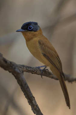 Madagascar Paradise-flycatcher - Terpsiphone mutata, Madagascar. Beautiful perching bird with extremely long tail long Madagascar forests, bushes and gardens.