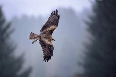 Black Kite - Milvus migrans, beautiful brown raptor from European forest. Birdwatching. Falconry.