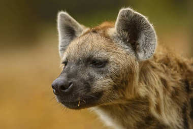 Portrait of Spotted Hyena - Crocuta crocuta, closeup picture of powerfull African carnivore.