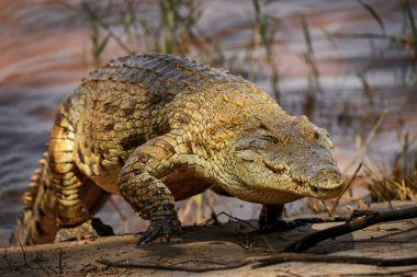Nile Crocodile - Crocodylus niloticus, large reptile  from Tsavo East National park, Kenya.