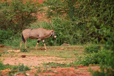 Beisa Oryx - Oryx gazella beisa, large antelope from African savannas, Tsavo National Park, Kenya.