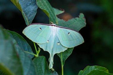 Chinese moon moth - Actias ningpoana, beatiful yellow green moth from Asian forests, China.