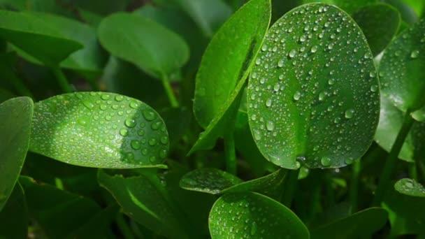 voda kapající na zelený list