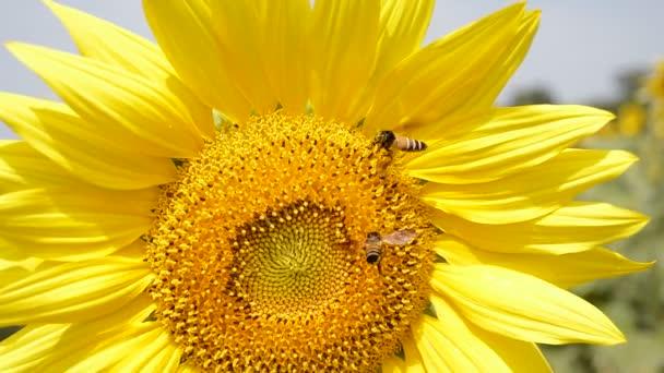 Včela opyluje slunečnici