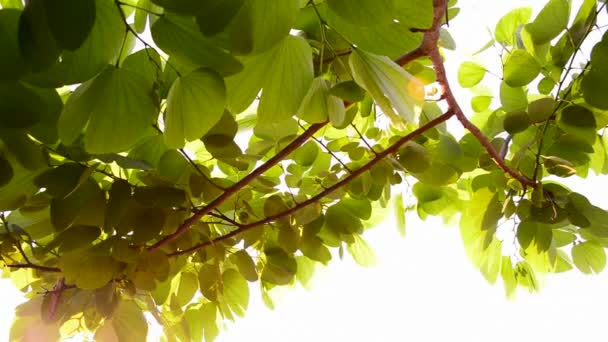 sun light and green leaves ,natural background